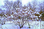 3040-CB Sargent Crabapple, Malus sargentii in snow at Lyndale Garden Park, Minnesota