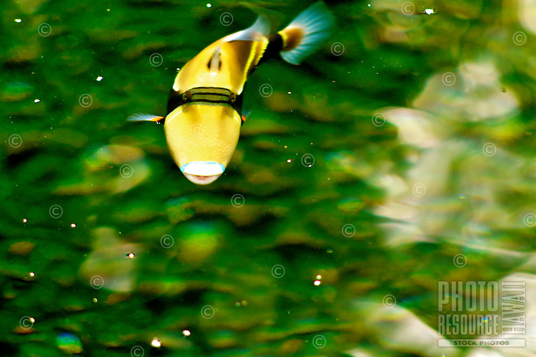 """A humuhumunukunukuapuaʻa (or humuhumu for short, also known as a wedge-tail triggerfish) in a sun-dappled Big Island fishpond; it is Hawai'i's state fish and its long name means """"fish that grunts like a pig"""" for the sound it makes when cornered or caught."""