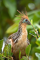 The Hoatzin (Ophisthocomus hoazin) aka the 'Stinky Turkey' to Amazon natives because of the bad odors from fermentation of leaves in the bird's crop; Napo, Equador