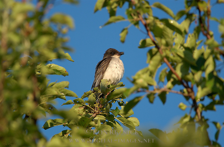 Eastern Kingbird with insect Tyrant Flycatcher Catskill Mountains New York