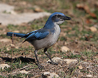 Western Scrub-Jay on a hot sunny summer day in Texas..