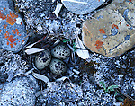Shorebird nest, Alaska