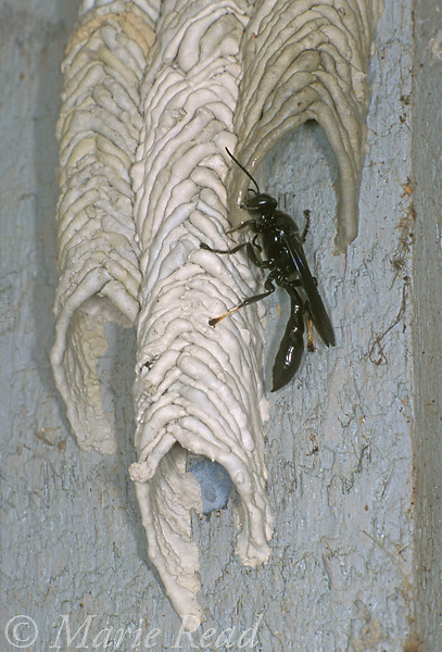 Pipe Organ Mud Dauber (Trypoxylon albitarsis) using mud to build its tubular nest, New York, USA<br /> Slide # IN4517