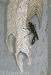 Pipe Organ Mud Dauber (Trypoxylon albitarsis) using mud to build its tubular nest, New York, USA<br /> Slide # IN4517