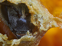 A bee hatching breaks the wax cap that seals the cell with its mandibles. The mandibles can serve as scissors, clamps, spatulas and planes. They are used to shape the wax and knead the propolis.<br /> Une abeille en train de naitre brise avec ses mandibules l&rsquo;opercule de cire qui fermait sa cellule. Les mandibules peuvent servir comme ciseaux, pinces, spatules, rabots. Elles servent &agrave; fa&ccedil;onner la cire et &agrave; p&eacute;trir la propolis.