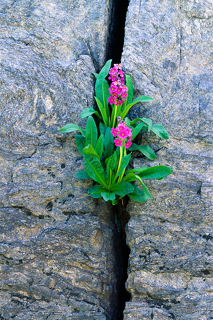 Parry primrose (Primula parryi) growing in cracked rock wall, Rocky Mountain National Park, Colorado, USA