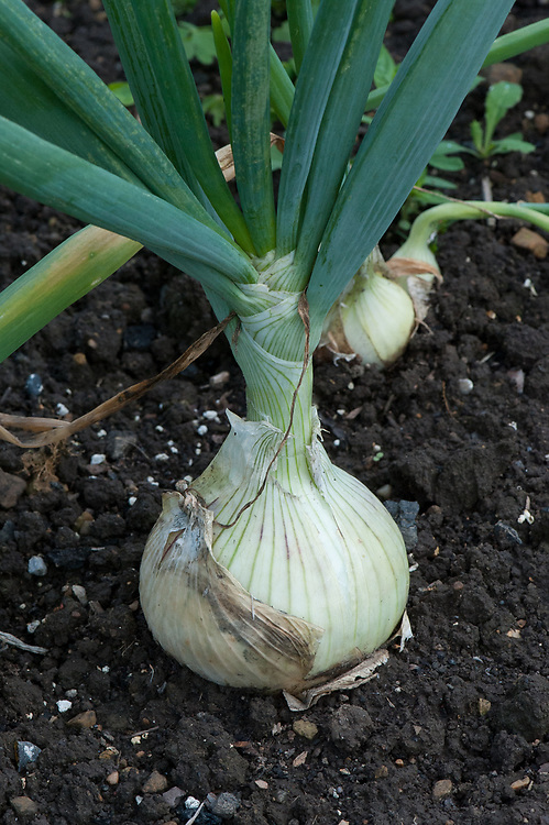 Onion 'Mammoth Improved', late July.