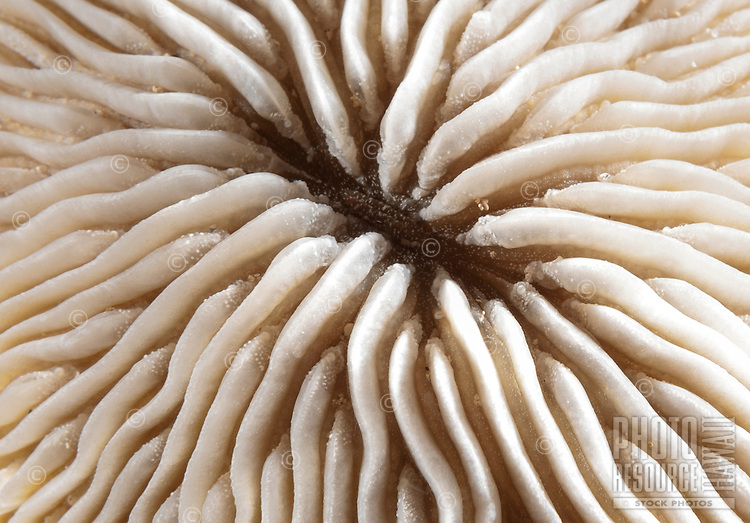A graphic closeup of an oval mushroom coral off of Kahe Point along the Waianae coast of O'ahu.