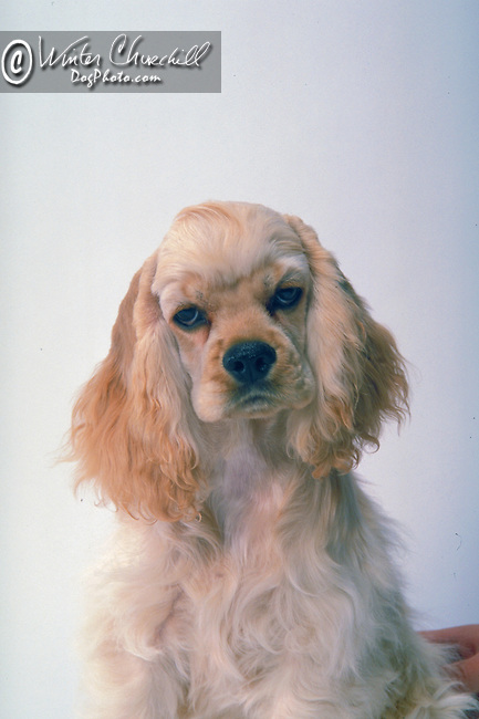 Cocker Spaniel <br /> <br /> Shopping cart has 3 Tabs:<br /> <br /> 1) Rights-Managed downloads for Commercial Use<br /> <br /> 2) Print sizes from wallet to 20x30<br /> <br /> 3) Merchandise items like T-shirts and refrigerator magnets