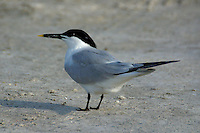 Adult sandwich tern in breeding plumage