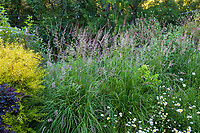 Calamagrostis x acutiflora 'Karl Foerster' - Feather Reed Grass, flowering grass in mixed border Marin Art and Garden Center