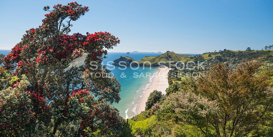 Pohutukawa and view of Hahei Beach, Summer, Coromandel, New Zealand - Stock Photo, canvas, fine art print
