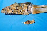 flipper or pectoral fin bones, phalanges of common bottlenose dolphin, Tursiops truncatus, and smaller bones from vaquita, Phocoena sinus