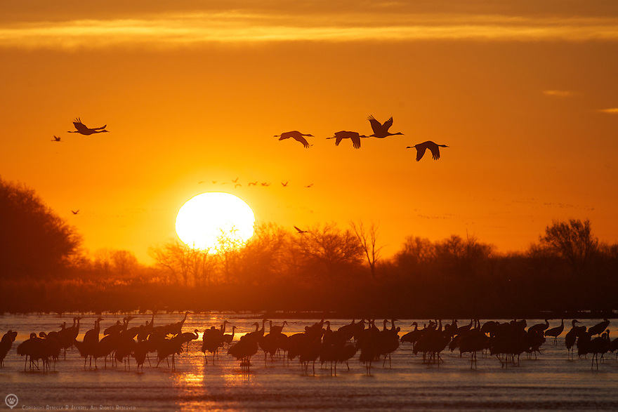 North America, United States, Nebraska, Wood River, Platte River. Sandhill Cranes in flight