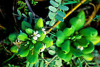 Naupaka Kahakai. Native Hawaiian plant that thrives in dry or sandy soil