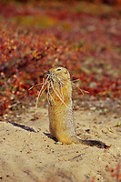 Arctic ground squirrel (Urocitellus parryii) with mouthful of bedding material for its den.