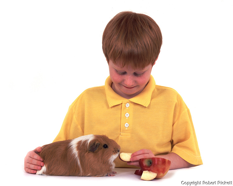 Young boy, 8 years old, feeding guinea pig a piece of apple, studio, cut out, white background, pet