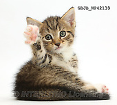 Kim, ANIMALS, REALISTISCHE TIERE, ANIMALES REALISTICOS, fondless, photos,+Cute tabby kitten, 6 weeks old, lying with head up and raised paw,++++,GBJBWP42139,#a#