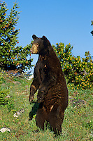 Black bear (Ursus americanus), Western U.S., summer.