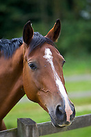 Dutch warmblood horse, Oxfordshire, England