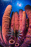 26 January 2016:  A Red Lionfish (Pterois volitans) is observed in front of a cluster of large purple tube sponges (Aplysina lacunosa) on the reef at Monk's Haven on Klein Bonaire. Klein Bonaire (Small Bonaire) is an uninhabited island off the west coast of Bonaire in the Dutch Caribbean. Bonaire is known for its pioneering role in the preservation of the marine environment. A part of the Netherland Caribbean Islands, Bonaire is located off the coast of Venezuela and offers excellent scuba diving, snorkeling and windsurfing.  Mandatory Credit: Ed Wolfstein Photo *** RAW (NEF) Image File Available ***