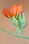 Close-up of single desert globemallow (Sphaeralcea ambigua) bloom