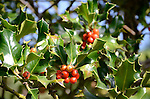 Hayward Japanese Gardens.  Holly