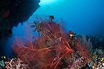 Gorgonian fan coral and sponges in the reef with diver in the background