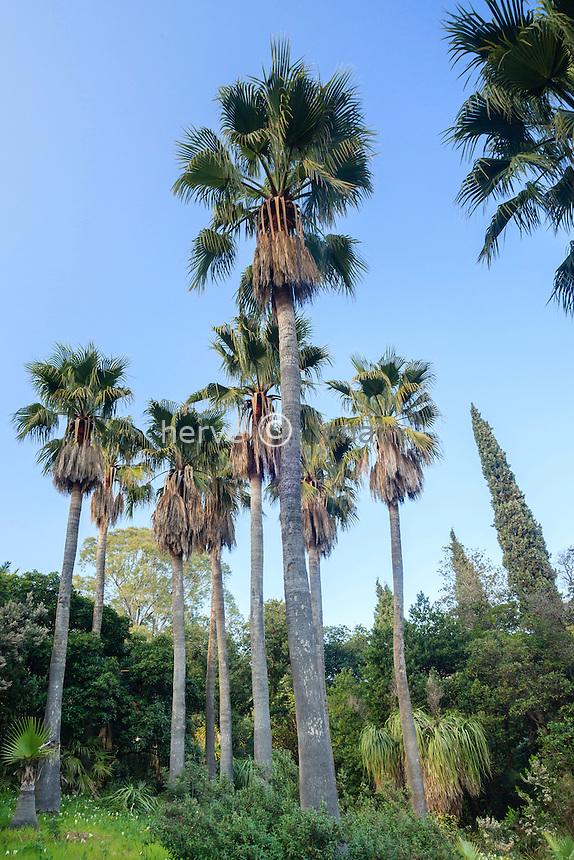 Le Domaine du Rayol:<br /> dans le jardin d'Am&eacute;rique subtropicale, bosquet de palmiers washingtonia (Washingtonia robusta).