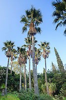 Le Domaine du Rayol:<br /> dans le jardin d'Am&eacute;rique subtropicale, bosquet de palmiers washingtonia (Washingtonia robusta).