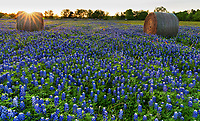 Bluebonnets at the farm among the haybales just at sunset a the sun rays came across one of the haybales with a kiss of sun ray light.