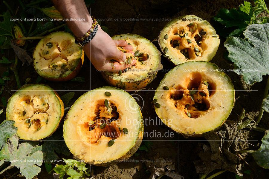 Austria Styria, cultivation of pumpkin, the seeds are used for processing of pumpkin seed oil / Oesterreich Steiermark, Anbau von Kuerbis und Verarbeitung zu Kuerbiskernoel