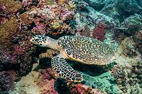 hawksbill sea turtle, Eretmochelys imbricata, Uepi Island, Marovo Lagoon, Solomon Islands, Solomon Sea, South Pacific Ocean