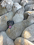 When you lie on your CV that you had previous sheepdog experience...  Farmer Charlie Mackinnon took this hilarious photo of his dog Izzy when she slipped and ended up in the middle of the flock she was meant to be marshalling.<br /> <br /> Mr Mackinnon, of Longford, Tasmania, made a single print of the picture and left it on his fridge door, but then came across a competition asking for photos which celebrate the work of Australia's sheep farmers.  The contest, run by a sheep drench company, was described as 'Australia's biggest ever sheep photo competition.'  SEE OUR COPY FOR DETAILS.<br /> <br /> Please byline: Charles Mackinnon/Solent News<br /> <br /> &copy; Charles Mackinnon/Solent News &amp; Photo Agency<br /> UK +44 (0) 2380 458800