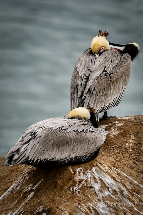 Two Brown Pelicans, one with an eye open, resting at La Jolla Cove near San Diego, California.
