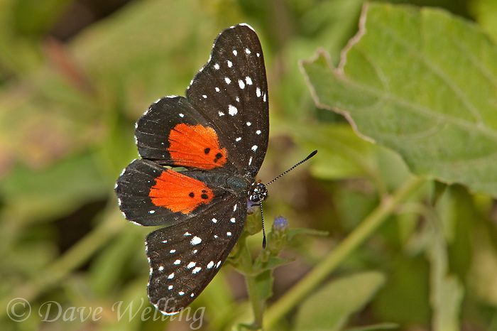 378460001 a wild crimson patch butterfly  chlosyne janais at  the naba site in mission hidalgo county lower rio grande valley texas united states