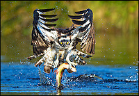 BNPS.co.uk (01202 558833).Pic: JosePesquero/BNPS..***Please Use Full Byline***..Red in tooth and claw.....This is the moment a ruthless bird of prey grabbed itself a fish supper from a lake after circling over the water to carefully chose its target...Tourist Jose Pesquero spotted the eagle-eyed Osprey repeatedly flying over the same part of the lake in the Scottish Highlands...After selecting a particular rainbow trout, the bird swooped in and in one swift movement dived fully into the water before re-emerging with the hapless fish in its claws...The soggy raptor then flew off to find a quiet corner to devour his catch...Jose said he was delighted with his pin-sharp shots when he viewed them back later.
