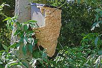 Hornisse, Hornissen, Nest, Hornissennest in einem Vogelnistkasten, ist so groß geworden, dass es nach außen erweitert werden musste. Vespa crabro, hornet, hornets, brown hornet, European hornet, nest, hornets' nest, Le frelon européen