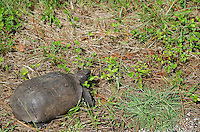Gopher tortoise, Lemon Bay Park, Englewood, Florida