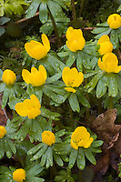 Kleiner Winterling, Eranthis hyemalis, Winter Aconite