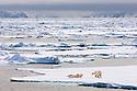 Polar Bears (Ursus maritimus) on ice flow. Woodfjorden, northern Spitsbergen, Svalbard, Arctic Norway.(Digitally Modified)