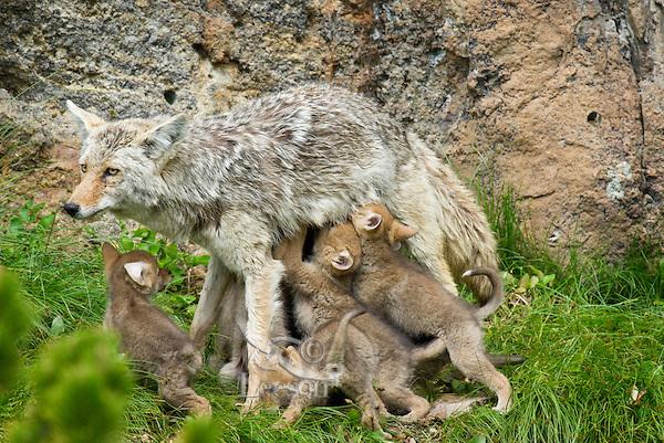Wild Coyote (Canis latrans) nursing young pups near den.  Western U.S., June.