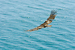 A California Condor soars along the Big Sur coastline in California.