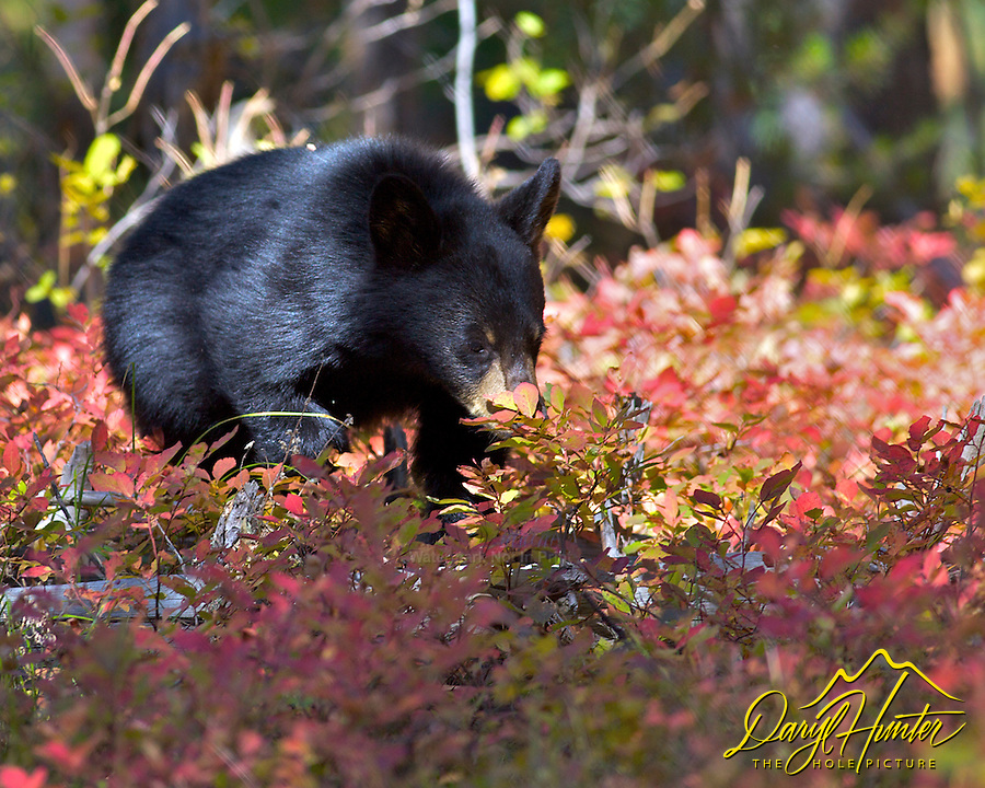 Black Bear cub looking for huckleberries in Grand Teton National Park