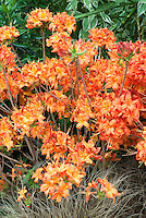 Rhododendron Fireball (Deciduous Azalea) in spring bloom in vivid red and orange colors