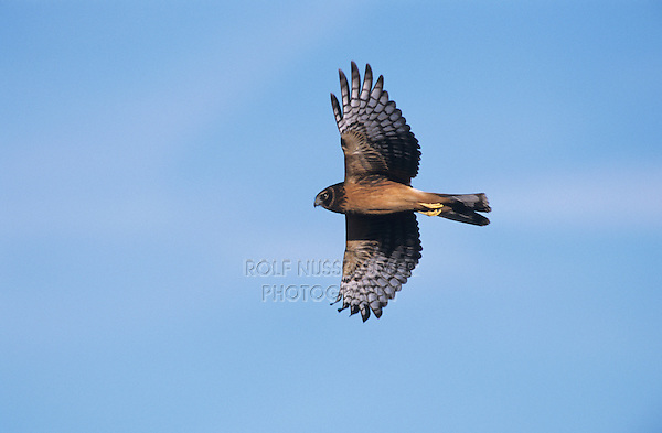 Northern Harrier, Circus cyaneus, female in flight,Lake Corpus Christi, Texas, USA, March 2003