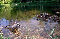 Baby raccoon, Procyon lotor, watches on mallard ducks swim by on rural pond, Missouri, USA