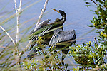 Anhinga about to take to the air in search of more fish in 10,000 Islands Nature Preserve, The Everglades.