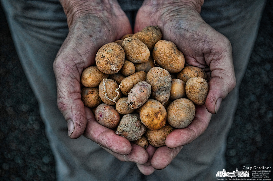 Farmer holds the small potatoes grown on her farm in central Ohio. The potatoes were for sale at a weekly farmers market in Westerville, Ohio.