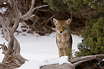 A coyote in snow in Canyonlands National Park near Moab, Utah.